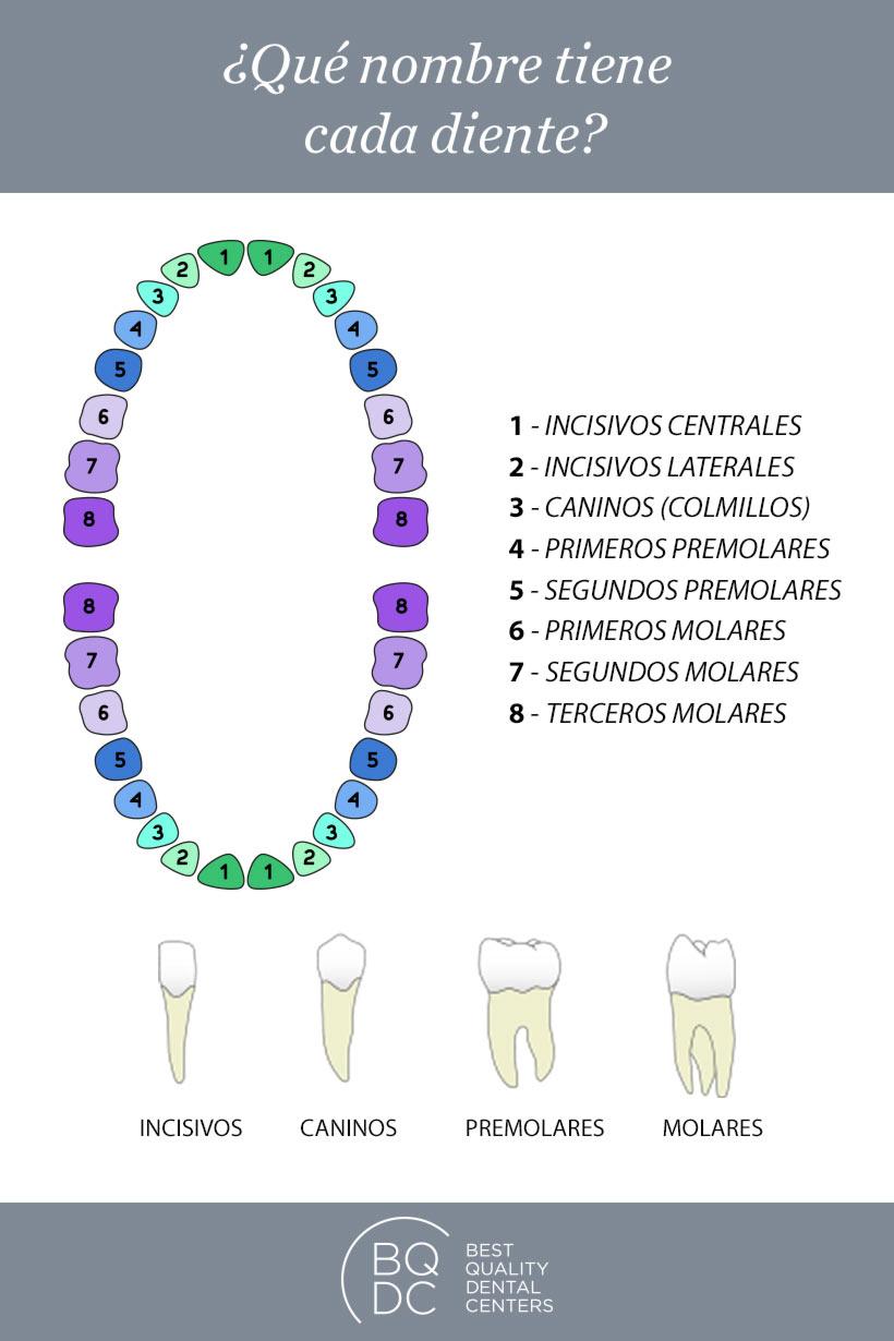 Cómo se llaman los dientes